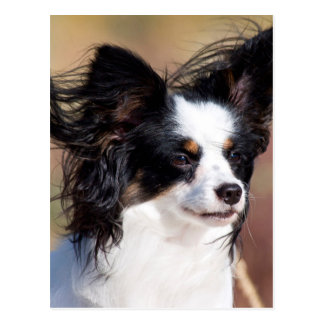 Portrait Of A Papillon Sitting In The Wind Postcard