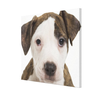 Portrait of a pitbull puppy stretched canvas prints