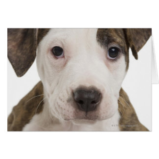 Portrait of a pitbull puppy greeting cards
