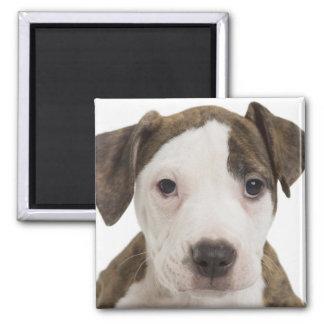 Portrait of a pitbull puppy refrigerator magnets