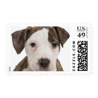 Portrait of a pitbull puppy postage stamp