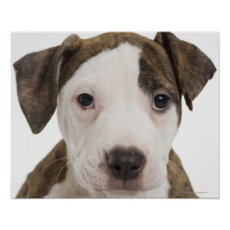 Portrait of a pitbull puppy poster