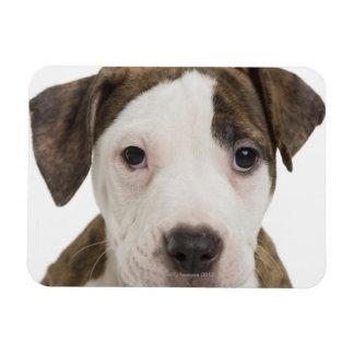 Portrait of a pitbull puppy flexible magnet