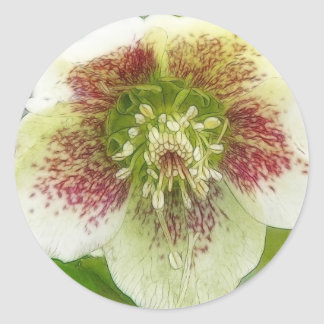 Portrait Of A Spring Hellebore Flower Classic Round Sticker