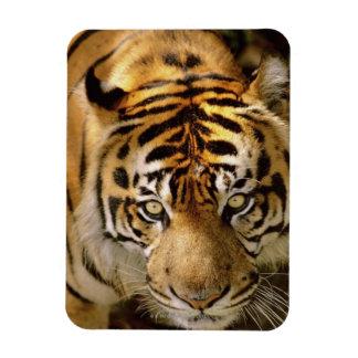 Portrait of a tiger magnet