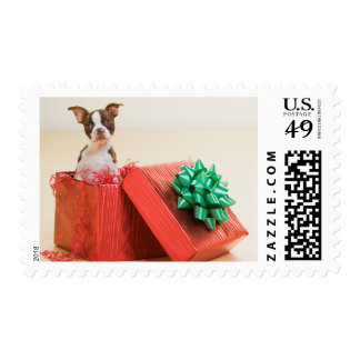 Portrait of a white and brown Boston Terrier Postage