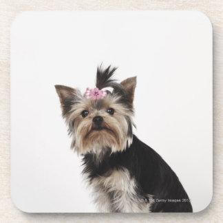 Portrait of a Yorkshire Terrier dog Beverage Coasters