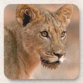 Portrait Of A Young Male Lion (Panthera Leo) Drink Coaster