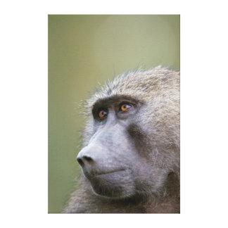 Portrait of adult Olive baboon (Papio anubis) Canvas Print