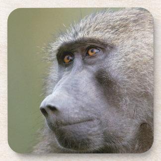 Portrait of adult Olive baboon (Papio anubis) Drink Coaster