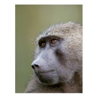 Portrait of adult Olive baboon (Papio anubis) Postcard