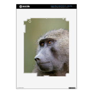 Portrait of adult Olive baboon (Papio anubis) iPad 3 Decal