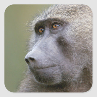 Portrait of adult Olive baboon (Papio anubis) Square Sticker