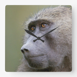 Portrait of adult Olive baboon (Papio anubis) Square Wall Clock
