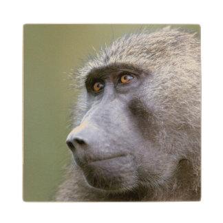 Portrait of adult Olive baboon (Papio anubis) Wood Coaster