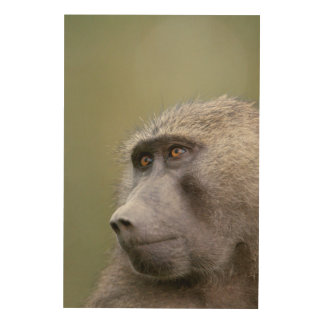Portrait of adult Olive baboon (Papio anubis) Wood Wall Art