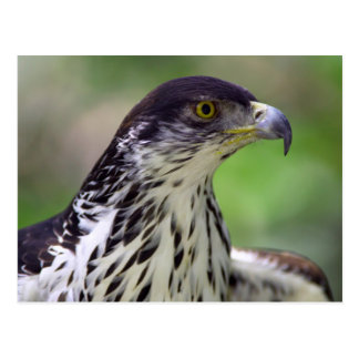 Portrait Of African Hawk Eagle Postcard