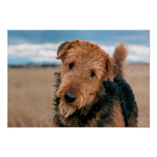 Portrait of an Airedale Terrier 2 Poster