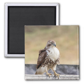 Portrait of an Immature Red Tailed Hawk Magnet
