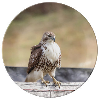 Portrait of an Immature Red Tailed Hawk Plate