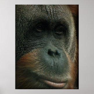 Portrait of an Orangutan poster print Poster