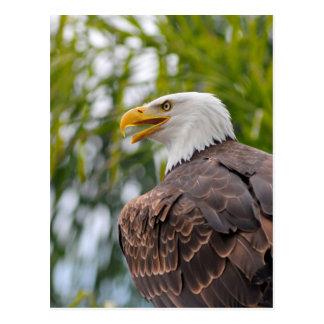 Portrait of bald eagle postcard