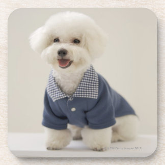 Portrait of Bichon Frise standing on table Beverage Coaster