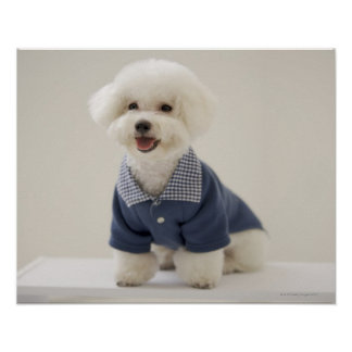Portrait of Bichon Frise standing on table Poster