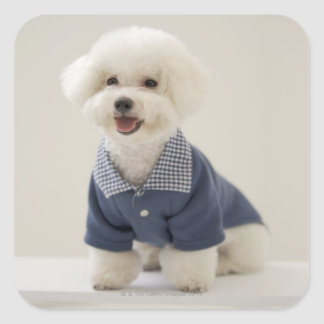 Portrait of Bichon Frise standing on table Square Sticker