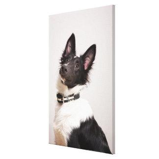 Portrait of black and white shetland sheepdog canvas print