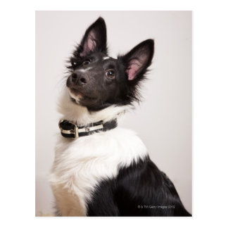 Portrait of black and white shetland sheepdog postcard