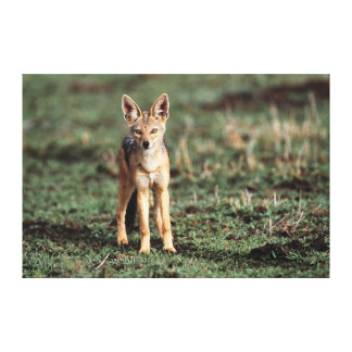 Portrait of Black-Backed Jackal Canvas Print