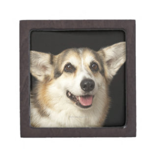 Portrait of black, brown and white Corgi Jewelry Box
