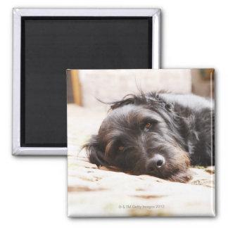 portrait of black dog lying in yard magnet