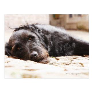 portrait of black dog lying in yard postcard