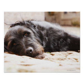 portrait of black dog lying in yard poster