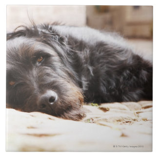portrait of black dog lying in yard tile