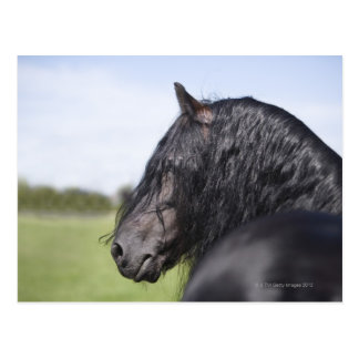 portrait of black horse with long mane postcard
