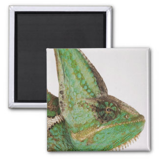 Portrait of boldly colored Yemen chameleon Magnet