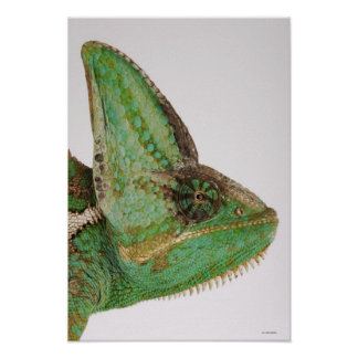 Portrait of boldly colored Yemen chameleon Poster