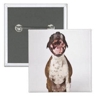 portrait of boxer dog yawning button
