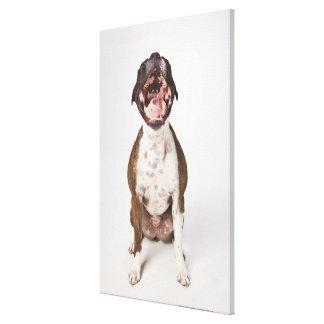 portrait of boxer dog yawning canvas print