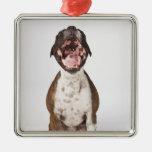 portrait of boxer dog yawning christmas ornament
