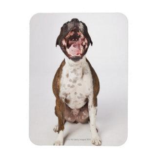 portrait of boxer dog yawning magnet