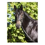 portrait of brown horse 2 postcard