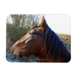 Portrait of brown horse on cold day staring into rectangular magnet