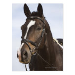 portrait of brown horse postcard
