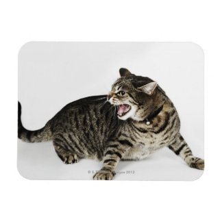 Portrait of cat hissing rectangular photo magnet