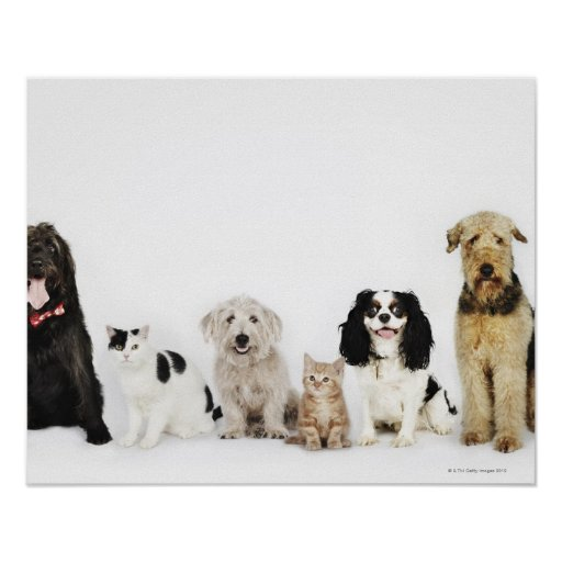 Portrait of cats and dogs sitting together poster
