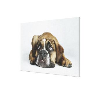 Portrait of Dorset Old Tyme Bulldog Canvas Print